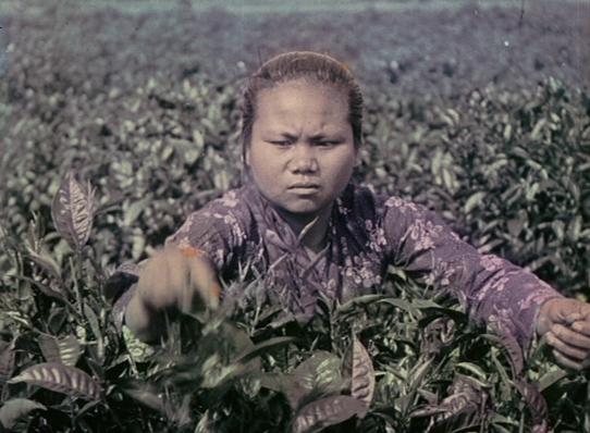 Le thé-culture, récolte et préparation industrielle_01